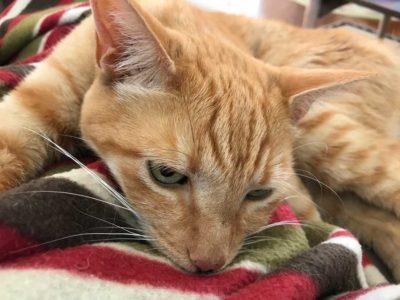 Ginger sucking on her blanket.